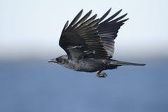 Corneille américaine, brachyrhynchos de corvus photo stock