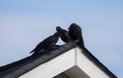 Corneille américaine sur le dessus de toit, Clarke County GA Etats-Unis Images stock