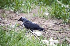 Corneille, corneille futée recherchant l'amorce, corneille de type oiseau intelligente, corneille noire mignonne Photos stock