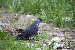 Corneille, corneille futée recherchant l'amorce, corneille de type oiseau intelligente, corneille noire mignonne Photographie stock
