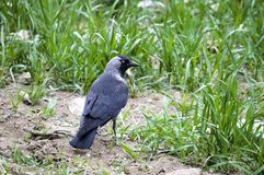 Corneille, corneille futée recherchant l'amorce, corneille de type oiseau intelligente, corneille noire mignonne Images stock