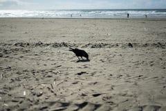Corneille dans l'extrémité de terres, San Francisco Image stock