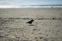 Corneille dans l'extrémité de terres, San Francisco Photographie stock