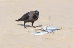 Corneille de Chambre sur le sable avec un poisson dans le bec Photos stock