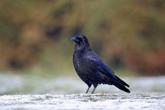 Corneille de charogne, corone de Corvus photo stock