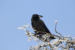 Corneille de charogne, corone de Corvus Photos libres de droits