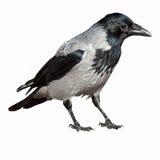 corneille de corvus de cornix à capuchon photographie stock libre de droits