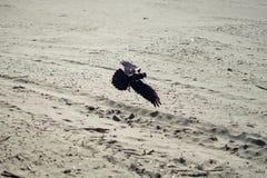 Corneille de vol dans l'extrémité de terres, San Francisco Photographie stock libre de droits