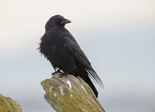 Corneille du nord-ouest (caurinus de Corvus) Photo stock