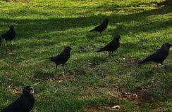 Corneille en Richmond Park photographie stock libre de droits