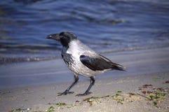 Corneille flânant sur la plage Photos libres de droits