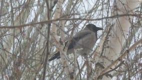Corneille grise se reposant sur un arbre de bouleau un jour nuageux banque de vidéos