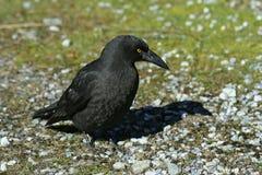 Corneille noire Photo libre de droits