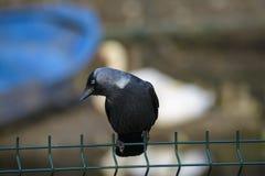 Corneille noire Image libre de droits