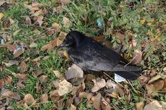 Corneille noire Image stock