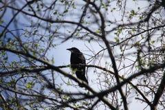Corneille noire et blanche dans l'arbre Photographie stock libre de droits