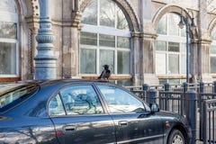 Corneille noire et grise se reposant sur le dessus de toit de voiture dans la zone urbaine Toit de voiture endommagé par corneill photos libres de droits