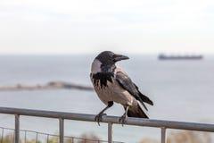 Corneille noire se tenant sur la balustrade de la barrière à la recherche du foo Photographie stock libre de droits