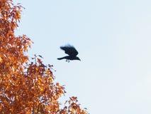 Corneille partant d'un arbre d'automne Image stock