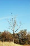 Corneille sur l'arbre Photo libre de droits