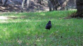 Corneille sur l'herbe banque de vidéos