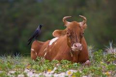 Corneille sur la vache Photographie stock libre de droits