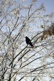 Corneille sur un arbre d'hiver Photos libres de droits