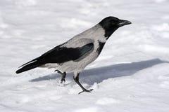 Corneille sur une neige Images libres de droits