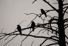 Corneilles en silhouette dans l'arbre mort Photographie stock libre de droits