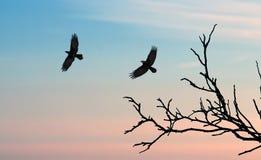 Corneilles noires contre le ciel de coucher du soleil Photographie stock libre de droits