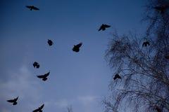 Corneilles noires dans le ciel bleu photographie stock libre de droits