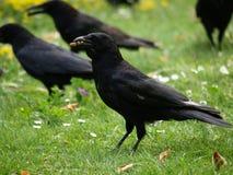 Corneilles noires en stationnement Photo stock
