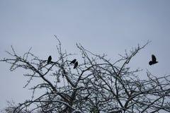 Corneilles sur un arbre photo stock