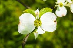 Cornejo floreciente Fotografía de archivo