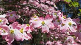 Cornejo floreciente en primavera foto de archivo
