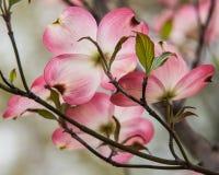Cornejo rosado Foto de archivo