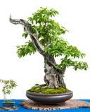 Cornel樱桃(萸肉mas)作为盆景树的亚洲艺术 免版税库存照片