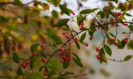 cornel的成熟莓果 免版税图库摄影