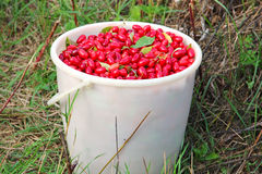 Cornel berries in the bucket Royalty Free Stock Images