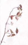 Cornel branch watercolor painting Royalty Free Stock Image