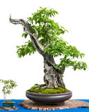 Cornel cherry (Cornus mas) as asian art of a bonsai tree. White isolated cornel cherry (Cornus mas) as asian art of a bonsai tree Royalty Free Stock Photos