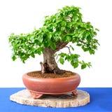 Cornel cherry Cornus mas as bonsai tree Royalty Free Stock Images