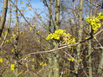 Cornel flowering. In early spring royalty free stock images