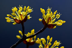 The cornel's flowers. Are yellow and beautiful.They blossom in March Royalty Free Stock Images