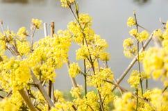Cornelian κεράσι dogwood Στοκ Εικόνα