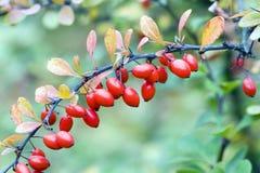 Cornelian cherries Royalty Free Stock Images