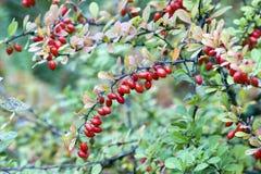 Cornelian cherries on branch Royalty Free Stock Images