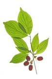 Cornelian cherries (Cornus mas). Branch with ripe cornelian cherries (Cornus mas) isolated in front of white background Royalty Free Stock Image