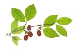 Cornelian cherries (Cornus mas) Stock Images