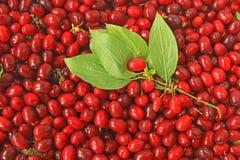 Cornelian cherries (Cornus mas) Royalty Free Stock Photos